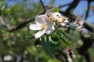 Bodo cvetovi in plodovi jablan preživeli?