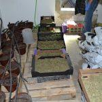 Šmarski policisti zasegli 10 kilogramov posušenih konopljinih vršičkov