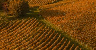 vinograd-sonja-kostevc-nagrada-v-kategoriji-a