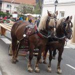 Mlaj v Šentjurju tudi letos dostavili kozjanski furmani (foto, video)