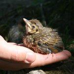 """Smo v obdobju, ko ptičji mladiči zapustijo gnezda. Kaj storiti z """"najdenčki""""?"""