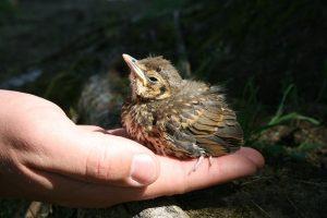 pticji-mladic-gnezdo