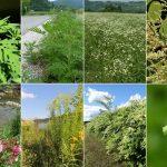 V Kozjanskem parku pričeli z odstranjevanjem invazivnih rastlinskih vrst (foto)
