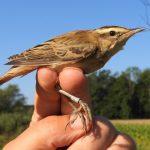 Spremljanje selitev ptic z obročkanjem v Kozjanskem parku (foto)