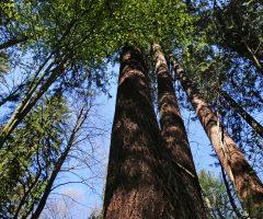 1 foto Andraž Purg – Najvišje izmerjeno drevo v Sloveniji je duglazija iz Mestnega gozda v Pečovniku pri Celju-min