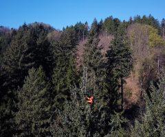 2-foto-Andraž-Purg-Drevo-je-z-vrh-a-izmeril-plezalec-in-arborist-Rado-Nadvešnik