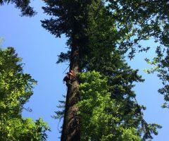 6-foto-Robert-Hostnik-Plezalec-Rado-Nadvešnik.-Meritev-z-merskim-trakom-in-plezanjem-na-drevo-je-najzanesljivejša-meritev-višin-dreves