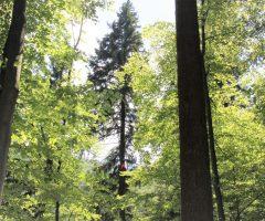 7-foto-Boštjan-Hren-Plezalec-Rado-Nadvešnik.-Meritev-z-merskim-trakom-in-plezanjem-na-drevo-je-najzanesljivejša-meritev-višin-dreves-