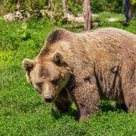 Na območju Dobja opažen medved
