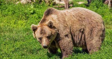 Medvedje že v sosednjih občinah, zdaj pa opažen že na območju Kozjansko-Obsoteljskega