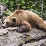 Na območju Šentjurja opažen medved