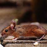 Na območju KiO zaenkrat brez primerov mišje mrzlice, previdnost kljub temu ni odveč